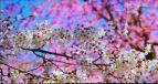 HDならではの高解像度映像。花びらがとても美しく表現できていた《撮影 会田肇》