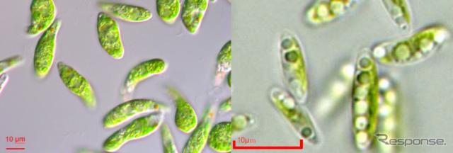 微細藻類ユーグレナ(和名:ミドリムシ)と微細藻類コッコミクサKJ右:微細藻類コッコミクサKJ(右)