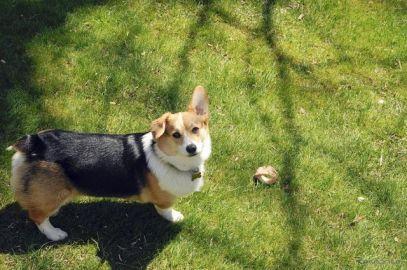 犬の祭典、英グッドウッドで初開催へ…2020年5月
