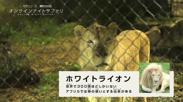 珍しいホワイトライオンが間近で見られる。《写真提供 日産自動車》