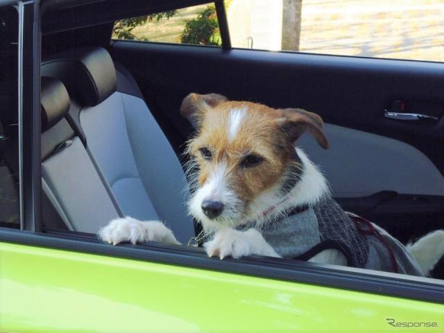わが家ではエアコン吹き出し口のある後席に愛犬を乗せる(ドライブ中は窓を閉め、犬用シートベルト等で安全確保)《写真撮影 青山尚暉》